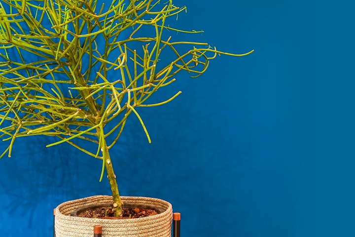 Firestick Succulent Pruning