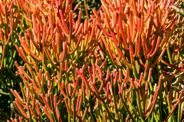 Firestick Succulent