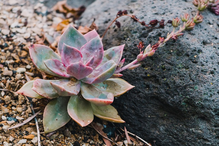 Ghost Plant Succulent Requirements