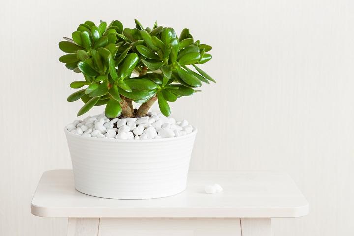 How Do Crassula Succulents Work