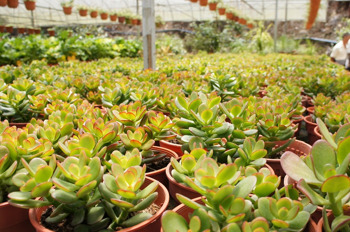 How Do Succulent Nurseries Work
