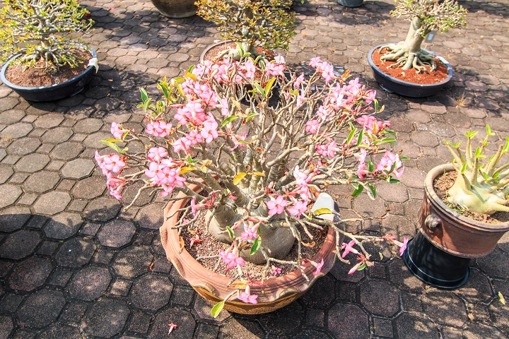 How Does the Desert Rose Succulent Work