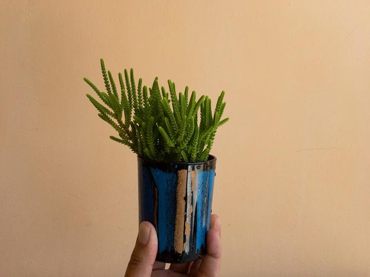How to Grow Crassula Succulents