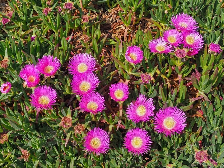 How to Grow Ice Plant Succulents