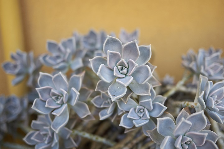 How to Grow a Ghost Plant Succulent