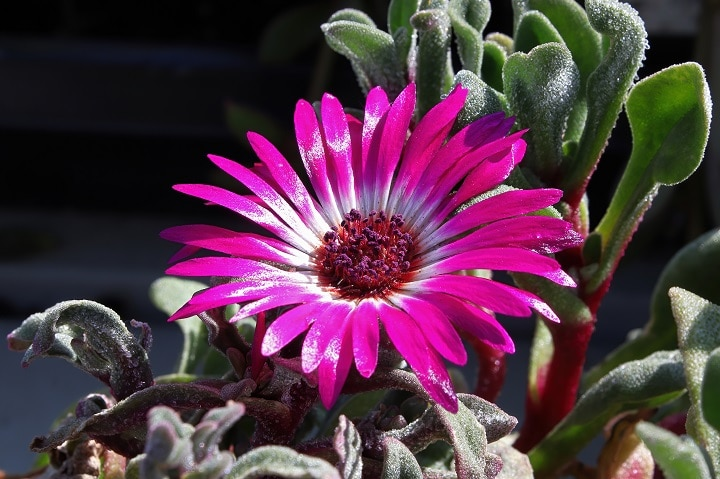 Ice Plant Succulent – Enjoy the Beauty of Its Vibrant Flowers