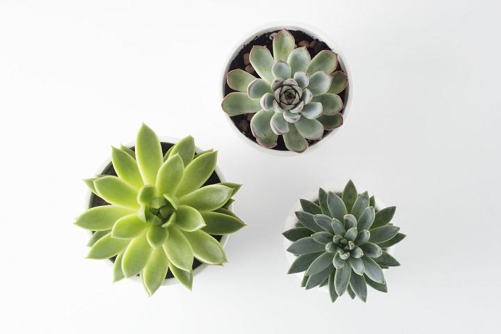Indoor Succulents - Echeveria