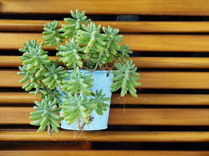 Jelly Bean Succulent – Secrets to Growing This Alluring Plant