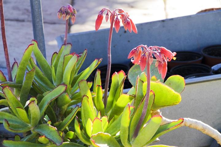 Outdoor Succulents - Cotyledon Orbiculata