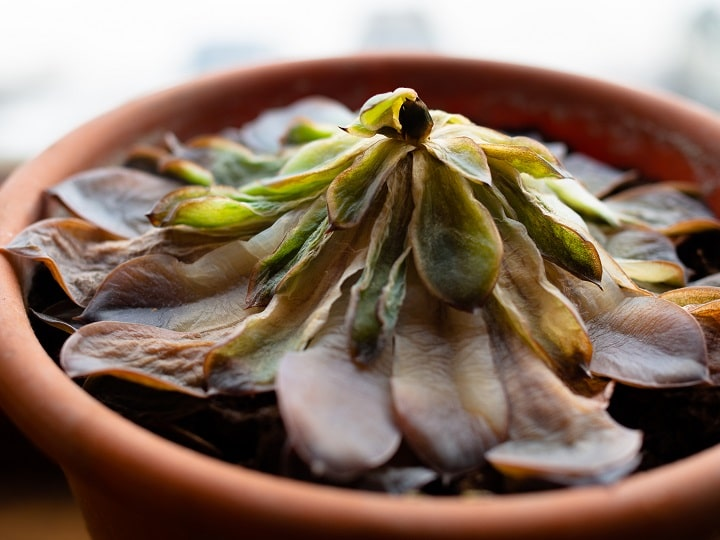 Overwatered Succulent – How to Spot Signs & Save the Plant