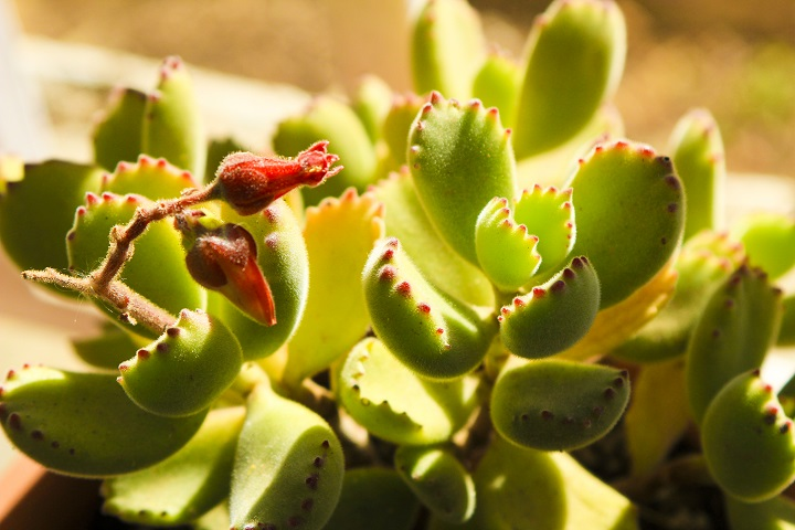 Pros and Cons of Bear Paw Succulents