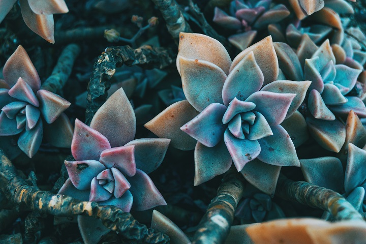 Pros and Cons of Growing a Ghost Plant Succulent