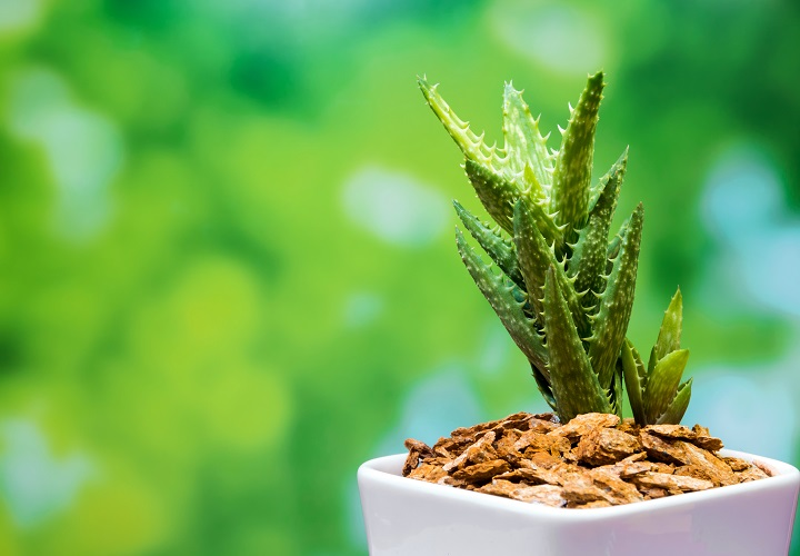 Pros and Cons of Spiky Succulents