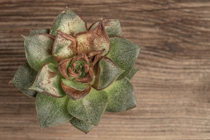 Signs You Succulent Is Overwatered