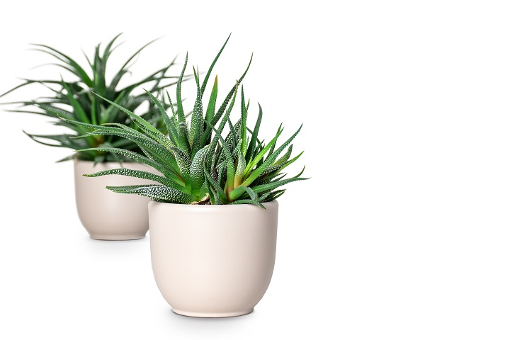 Spiky Succulents to Make Every Space Stand Out Instantly