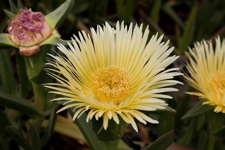 Types of Ice Plant Succulents