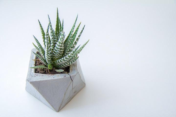 Zebra Succulent aka Haworthia – Ideal Choice for Beginners